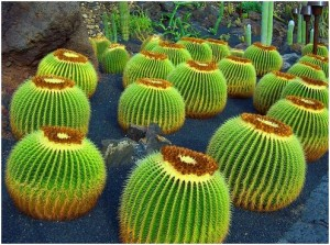 kaktusz16